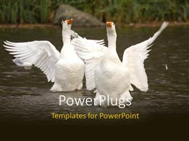 PowerPlugs: PowerPoint template with white sea Swans playing in lake with grasses in background
