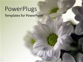 PowerPlugs: PowerPoint template with white spring flowers over white background
