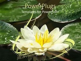 PowerPoint template displaying white water lily in full bloom with dewy leaves