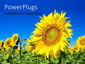 PowerPlugs: PowerPoint template with yellow sunflower in green field with blue sky overhead