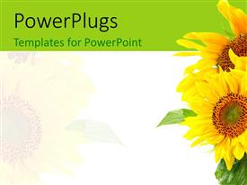 PowerPlugs: PowerPoint template with a number of sunflowers with white background